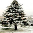 coillte-christmas-tree-farms