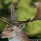 Deer In The Phoenix park