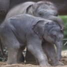 """""""Elephant Calf Born in Dublin Zoo"""""""