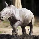 """""""Rhino Calf at Dublin Zoo"""""""