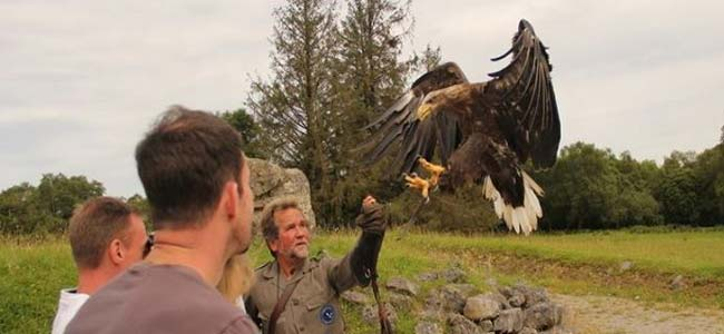 """Eagles Flying - Bird of Prey Centre Sligo"""