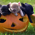 """Halloween at Moher Hill Open Farm"""