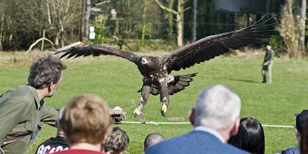 """Eagles Flying Bird of Prey Centre Sligo"""