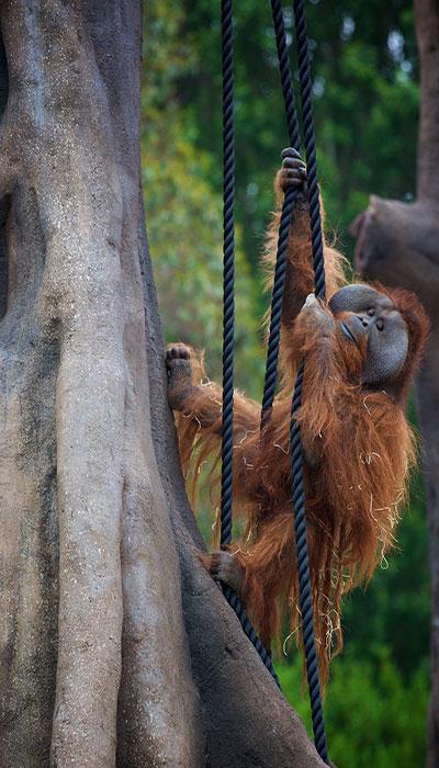 """""""Dublin Zoo Orangutan"""""""