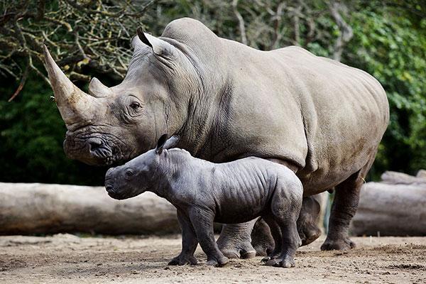 """Dublin Zoo Southern White Rhinocero"""