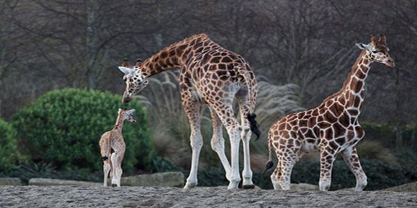 """""""Dublin Zoo Giraffe"""""""